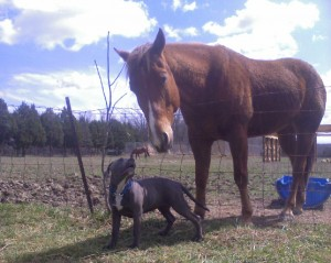 Pit bull and horse